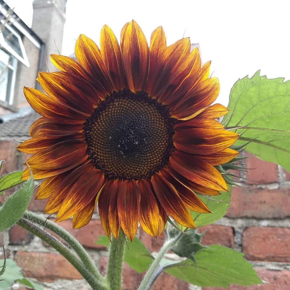 Sunflower in The Black Toad Beer Garden